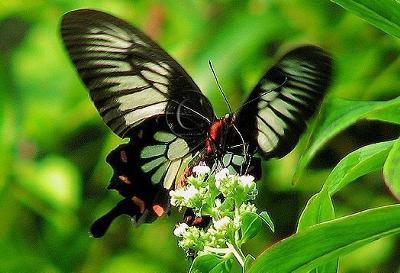 Ceylon Butterfly