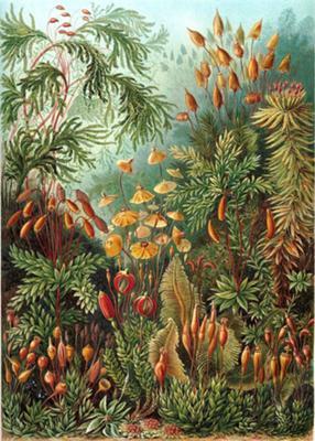 Muscinae or Bryophyta - Mosses