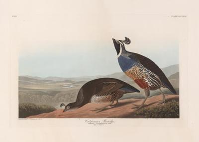 California Partridge