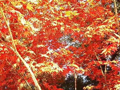 Maple tree ablaze with color
