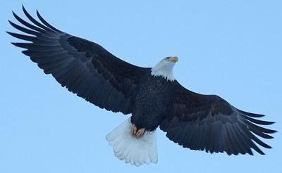Eagle soaring above Alaskan river