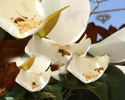 Magnolia flowers are bisexual