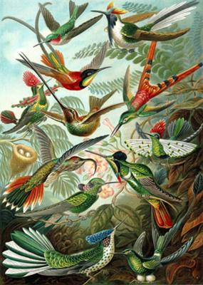 Trochilidae - Hummingbirds